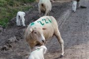 Control neural del vínculo entre el cordero y su madre